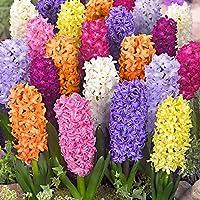 Blumenzwiebeln Hyazinthen zwiebeln
