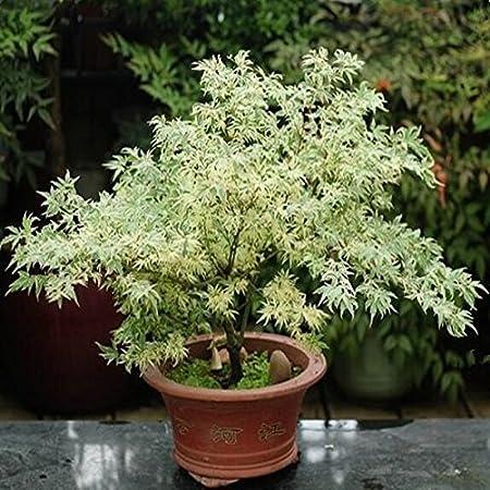 Mpale Baumsamen 30 Pc Satz Maple Samen Bonsai Blau Ahorn Japanischer