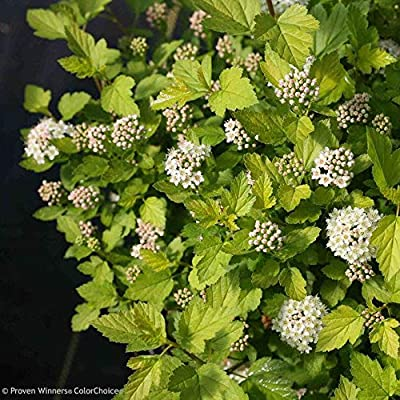 Tiny Wine Physocarpus : Garden & Outdoor
