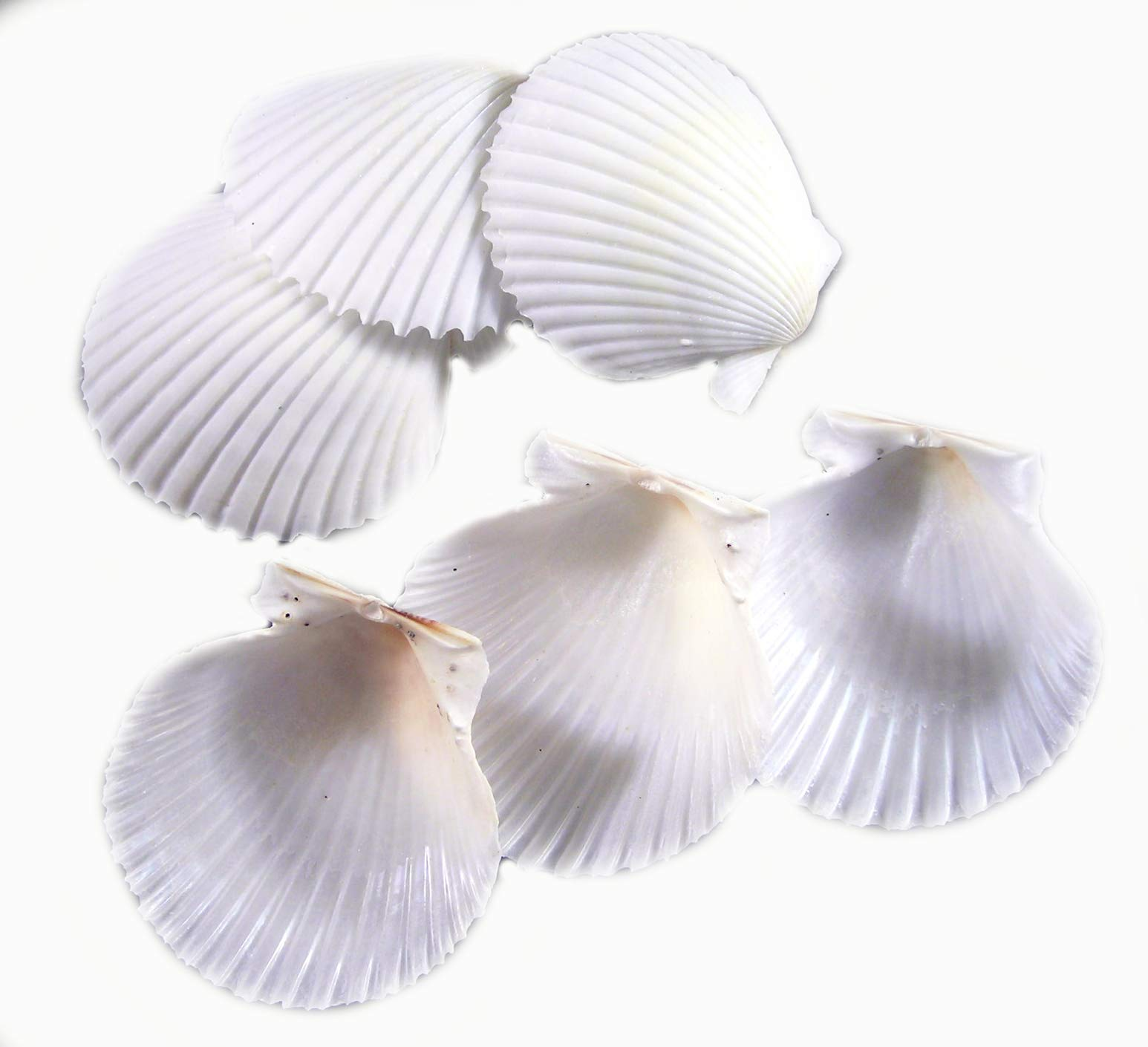 Set of 100 White Florida Scallop Shells (about 2'') Seashells for Beach Wedding Decor and Ocean Crafts