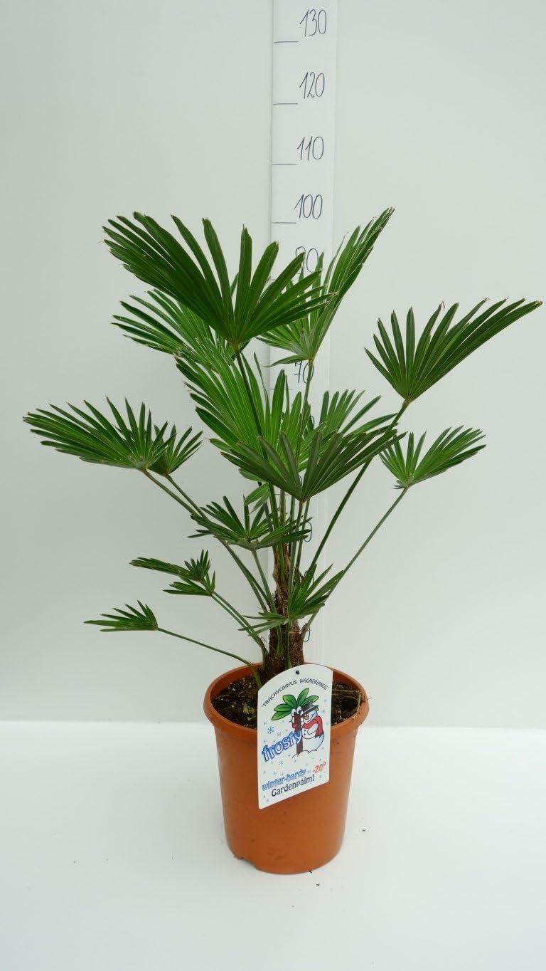 Winterharte Palmen Trachycarpus Wagnerianus