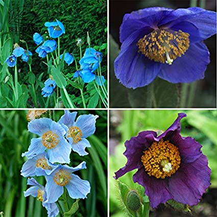 Amazon 2018 new arrivals davitu mixed 4 types corn poppy davitu mixed 4 types corn poppy blue sky blue purple perennial mightylinksfo