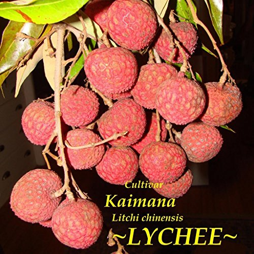 ~LYCHEE~ Cultivar KAIMANA Litchi chinensis TROPICAL FRUIT TREE LIVE Potted Plant (Lychee Plant)