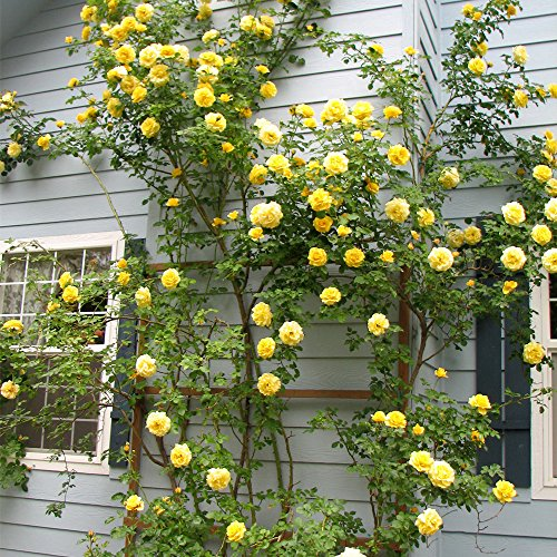 Own-Root One Gallon Gold Badge Climbing Rose by Heirloom Roses by Heirloom Roses (Image #2)