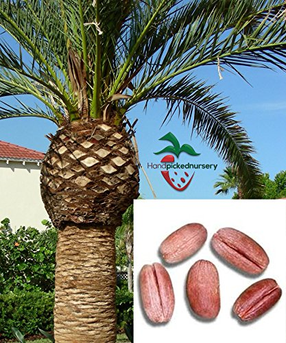 Canary Palm Trees (10 Canary Island Date Palm Tree Seeds)