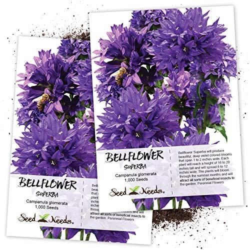 Seed Needs, Bellflower Superba (Campanula Glomerata) Twin Pack of 1,000 Seeds Each ()