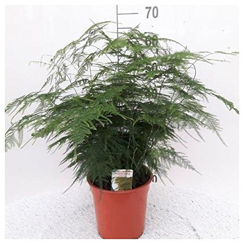 Asparagus Plumosus House Plant in a 21cm Pot. Asparagus Fern Perfect Plants