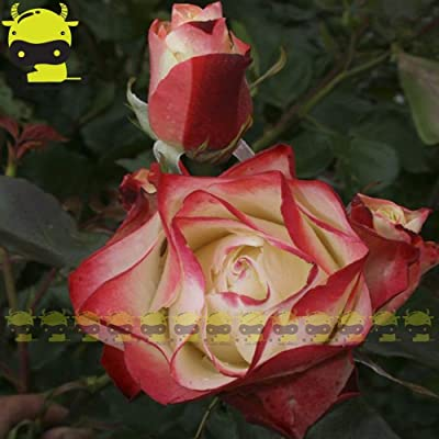 Heirloom Hybrid Tea Rose Seed, 50 Seeds/Pack, Bonsai Flower Seed Balcony Plant for Home Garden : Garden & Outdoor