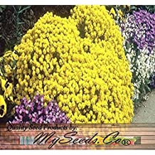 500 x Alyssum Gold Basket Of Gold Goldentuft Seeds - Alyssum saxatile - Great For Rock Garden ~ Perennial In Cold Hardy Zone 3-10 - By MySeeds.Co (Packet Size)