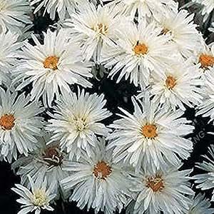 Semillas 200pcs crisantemo Bonsai Semillas Semillas hermosas semillas de flor perenne Inicio Jardín de Plantas Gerbera crisantemo nave libre 23