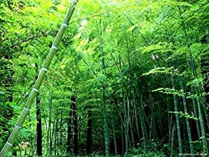50 pcs Bamboo seeds fresh Green bonsai MOSO BAMBOO Tree imber Bamboo Seeds with garden decoration plant