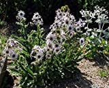 True Source Seeds - BERKHEYA PURPUREA Zulu Warrior Unique Rare Purple Hardy Perennial 5 Seeds