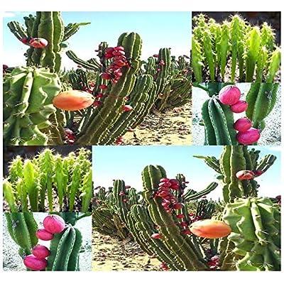Lumos80 (20) Peruvian Apple Cactus Seed - Fig Cactus - Cereus repandus Seeds - Comb. S&H : Garden & Outdoor
