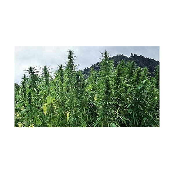Indigo Herbs Organic European Hemp Protein Powder 1kg