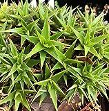"Deuterocohnia brevifolia SSP brevifolia, Dwarf Bromeliad Succulent Plant, Rare 6"" Pot, Mounding Small Rosettes, Lime Green Flowers"