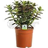 Crassula Minor - 1 Plant - House / Office Live Indoor Pot Money Penny Tree In 12cm Pot
