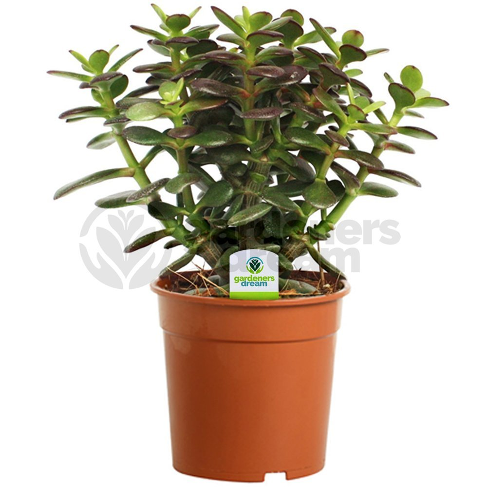Crassula Minor - 1 Plant - House / Office Live Indoor Pot Money Penny Tree In 12cm Pot GardenersDream