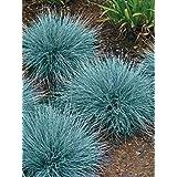Grass Seeds Blue Fescue (Festuca cinerea) Oranic Ornamental Seed