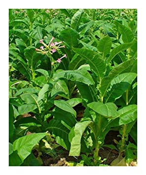 Burley Tobacco Nicotiana tabacum - Burley Tobacco - 100 seeds