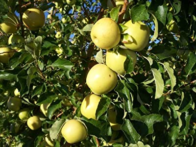 Yellow Delicious Semi Dwarf Apple Tree-healthy Fruit Trees 2-4 ft. -1 Each Plus Bonus