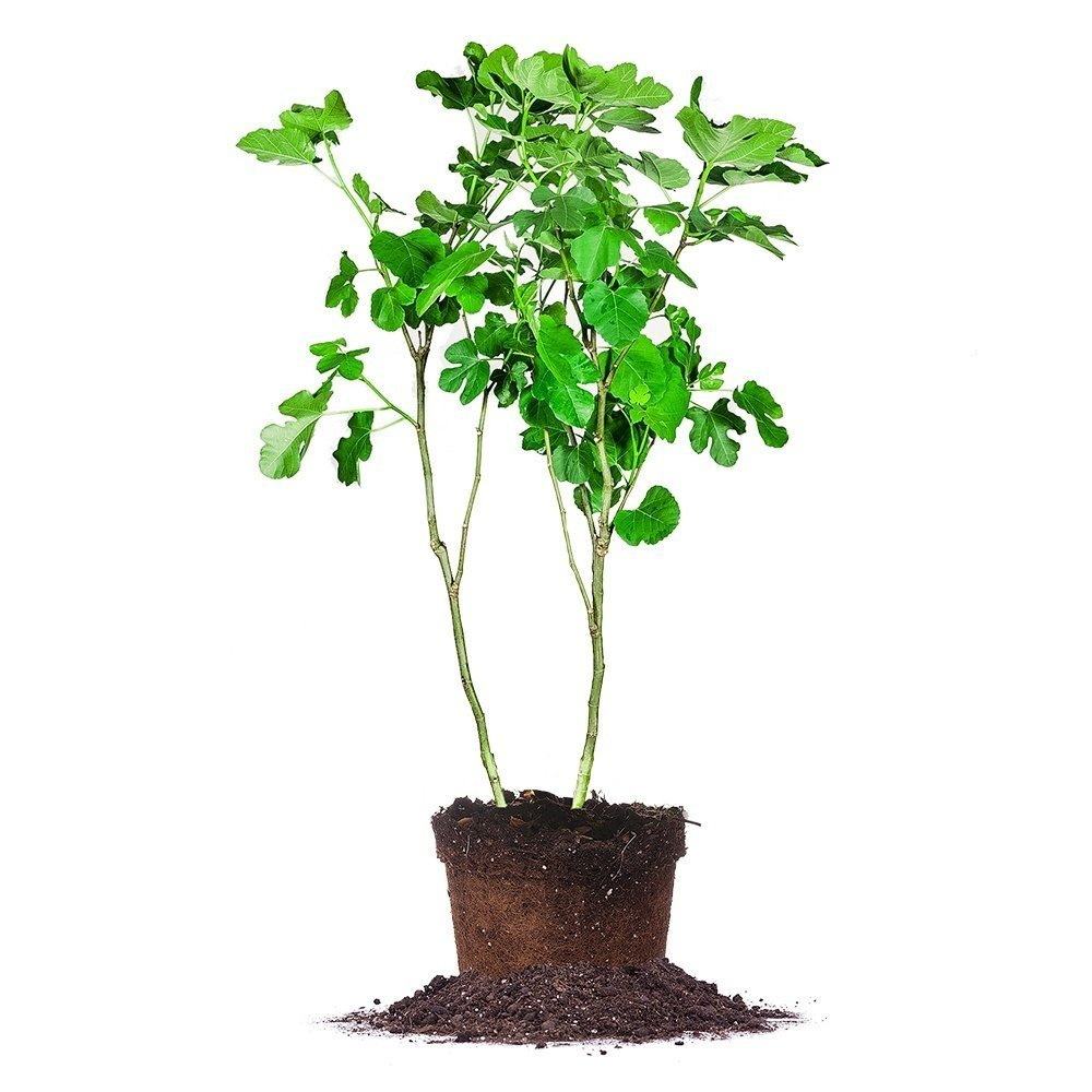 BROWN TURKEY FIG TREE - Size: 5 Gallon, live plant, includes special blend fertilizer & planting guide