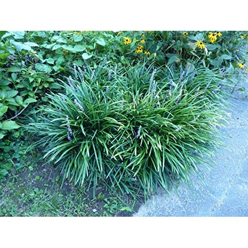 Lillyturf Bordergrass Monkey Grass Liriope Spicata Big Blue Sold In