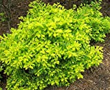 Duranta erecta GOLD MOUND Bright Gold Foliage 1 Plant!