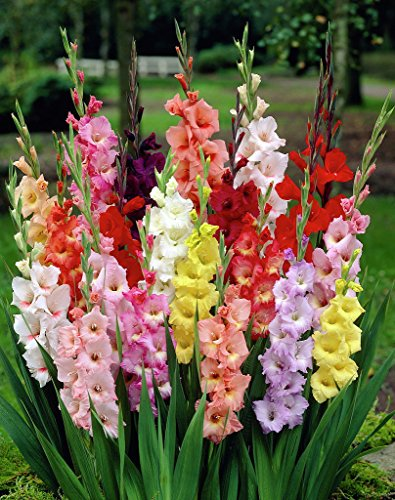 100 Giant Mixed Gladiolus Bulbs 12 cm - SUPER VALUE!