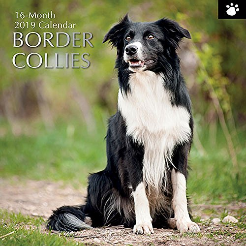 2019 Wall Calendar - Border Collie Calendar, 12 x 12 Inch Monthly View, 16-Month, Dogs and Pets Theme, Includes 180 Reminder Stickers