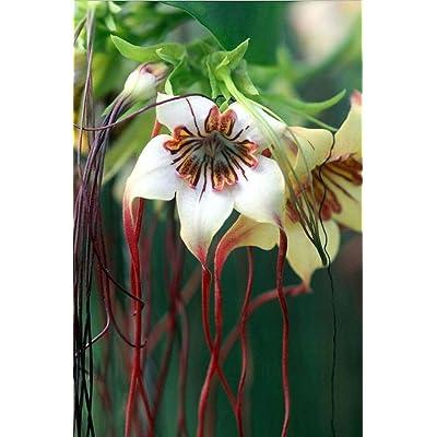 "AchmadAnam - 4"" Pot - Extremely Rare Foo Man Choo Plant - Strophanthus preussei - Collector's : Garden & Outdoor"