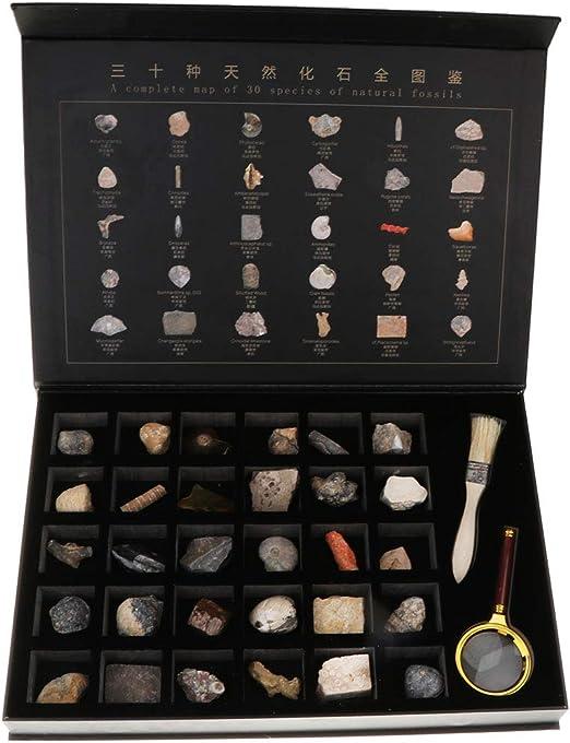Injoyo 30 Unids Caja de Exhibición de Fósiles Naturales Colección de Rocas y Minerales Niños Adultos: Amazon.es: Juguetes y juegos