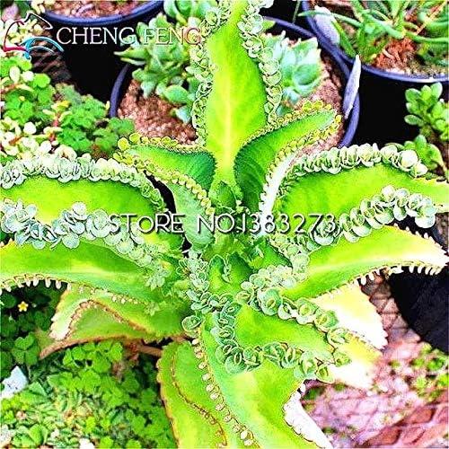 Green Seeds Co. 2016 Nuevo Bonsai 100 Unids/lote Kalanchoe Bonsai plantas de Flores Jardín Raras Plantas de Interior Flores Diy Planta Olla Semento: Gris Claro: Amazon.es: Jardín