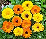 50+ ORGANICALLY Grown Calendula Officinalis Pot Marigold Mix Seeds Blooms Heavily, Annual, Beautiful! from USA