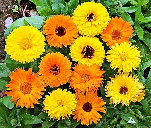 (50+ ORGANICALLY Grown Calendula Officinalis Pot Marigold Mix Seeds Blooms Heavily, Annual, Beautiful! from USA )