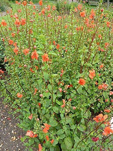100 seeds Mask Flower Alonsoa Warscewiczii Scarlet
