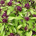 Everwilde Farms - Siam Queen Basil Herb Seeds - Gold Vault