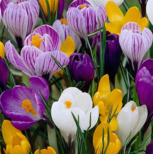 Seeds,Bulbs,Plants,&More, Lowgrowing Front of Border, Spectacular Crocus Mix (10) Bulbs
