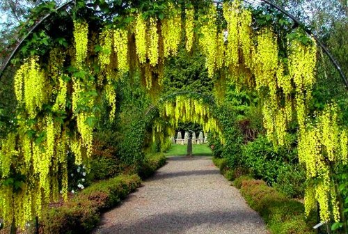 - GOLDEN CHAIN TREE - FRAGRANT YELLOW CASCADING FLOWERS ATTRACT HUMMINGBIRDS - LABURNUM ANAGYROIDES - 3 - YEAR TREE