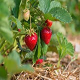 Quinalt Everbearing 10 Live Strawberry Plants, NON GMO,