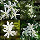 2 Confederate Jasmine Star Fragrant Jasmine vine !! Live Rooted Plant 8'' to 12''