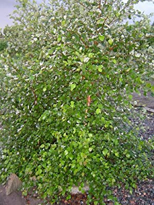 4 River Birch (Betula nigra) 1-2'