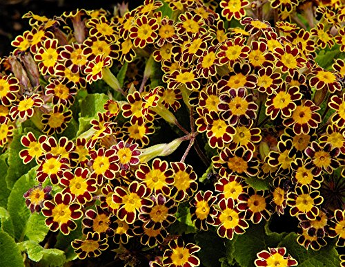 Primrose Gold Lace seeds - Primula (Primrose Lace)