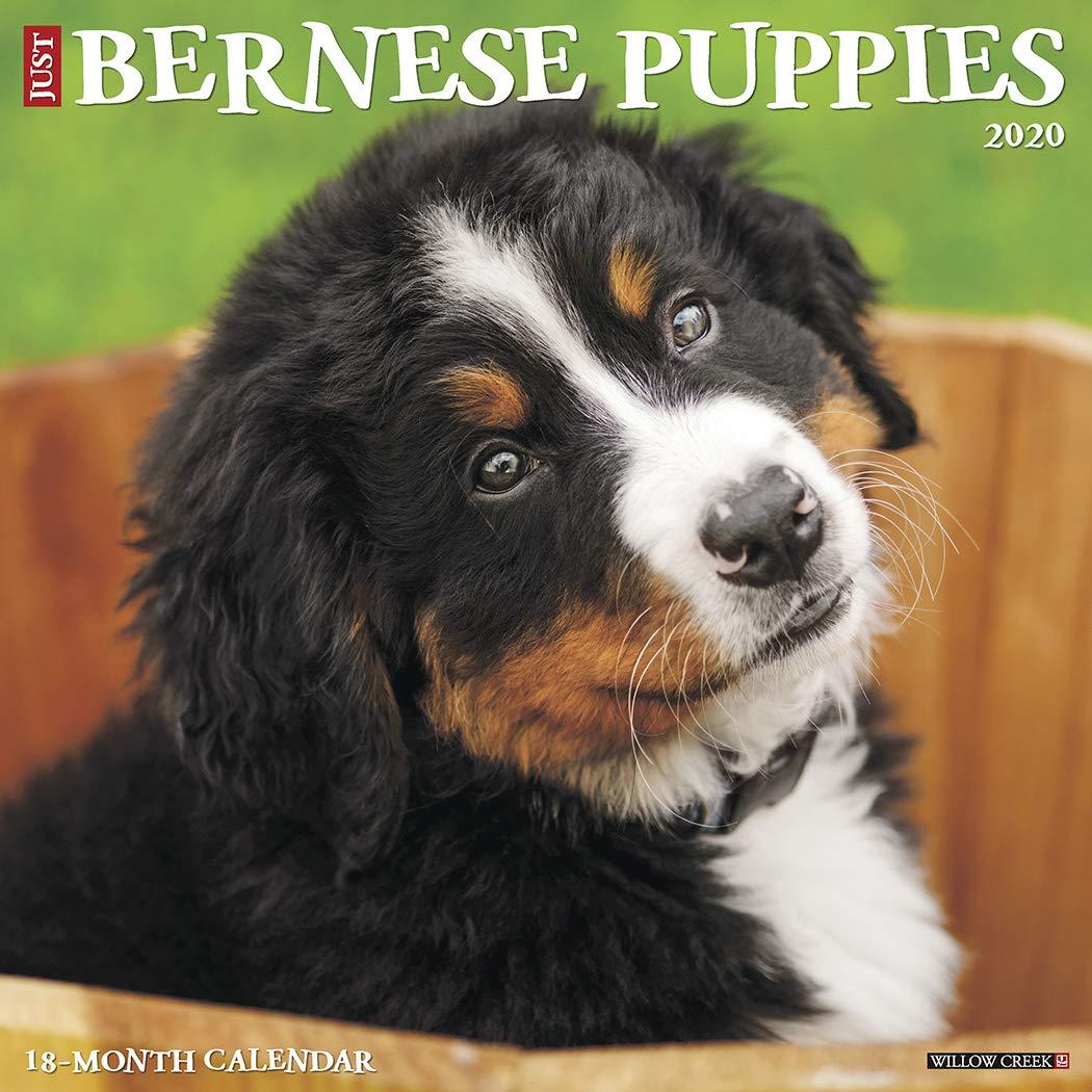 Just Bernese Mountain Puppies 2020 Wall Calendar Dog Breed