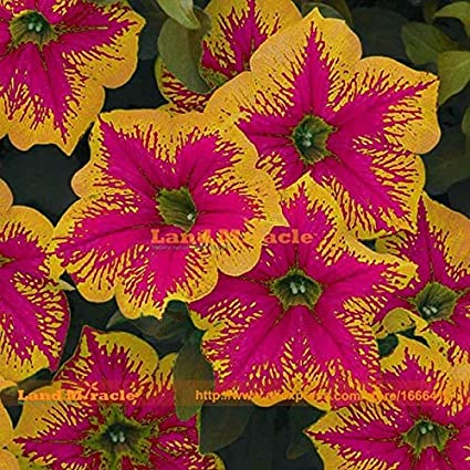 Amazon com : Go Garden Morning Glory Seed, 20 Seeds, Rare Bonsai