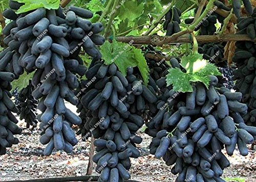 Rare Black Finger Grape Seed Heirloom Organic Fruit Seed Natural Growth, Grape Tree Climbing Plants DIY For Home Garden 30 Pcs 15