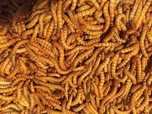 "Bulk Live Mealworms - 1000 count (Medium - 0.5"")"