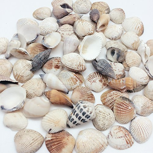 PEPPERLONELY Philippine Natural Sea Shells Mixed, Small, 1 Inch to 2 Inch in Sizes, 8 oz, Apprx. 60+ Shells (Shell Scallop Small)
