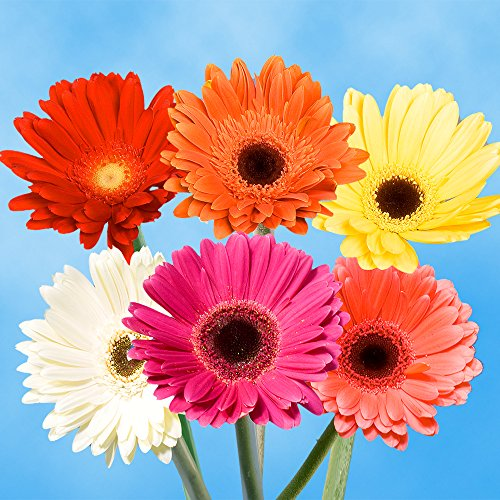 Price comparison product image GlobalRose Gerbera Daisies 30 Stems of Assorted Color - Fresh Flowers for Delivery