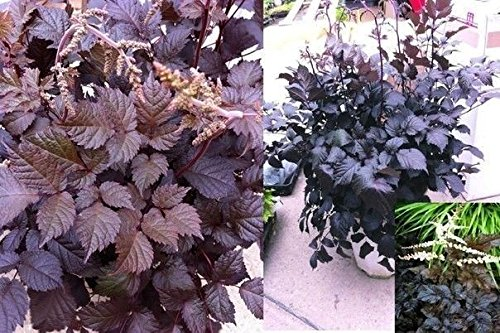(Astilbe Chocolate Kiss(2 Plant/Root) partial sun to shade garden,dark foliage)