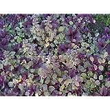 "Burgundy Glow Ajuga 48 Plants - Carpet Bugle - Very Hardy -1 3/4"" Pots"